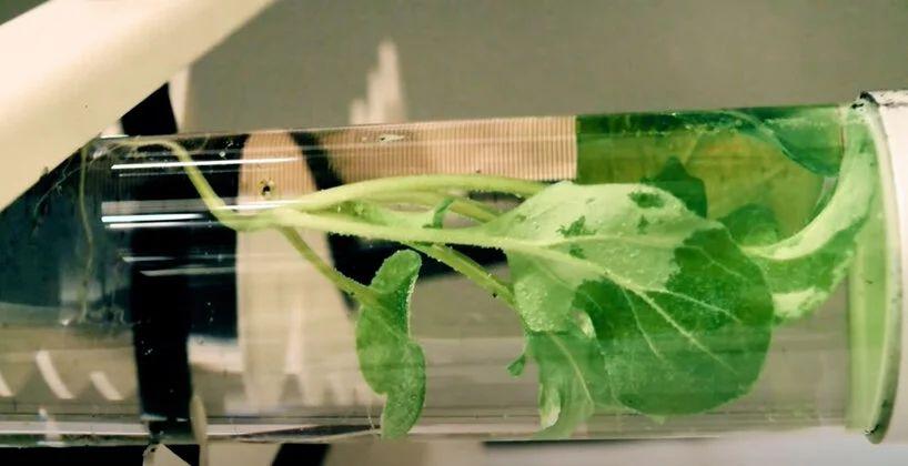 Читати під світлом вазону: науковці намагаються перетворити рослини на ліхтарі